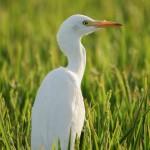 Bubulcus ibis-10