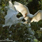 Bubulcus ibis-8