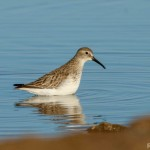 Calidris ferruginea-2