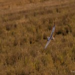 Aguilucho Papialbo - Pallid Harrier