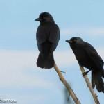 Corvus monedula-1