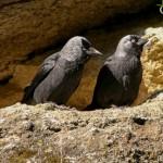 Corvus monedula-10