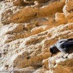 Corvus monedula-2