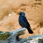 Corvus monedula-3