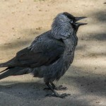 Corvus monedula-4