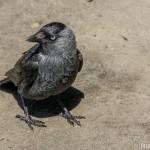 Corvus monedula-5