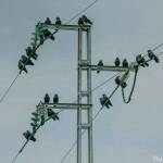 Corvus monedula-6