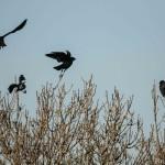 Corvus monedula-7
