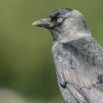 Corvus monedula-8