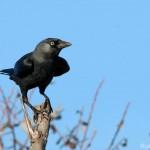 Corvus monedula-9
