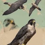 Falco peregrinus brookei