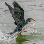 Phalacrocorax carbo-11