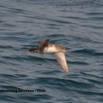 Puffinus mauretanicus - Birdwatching Barcelona