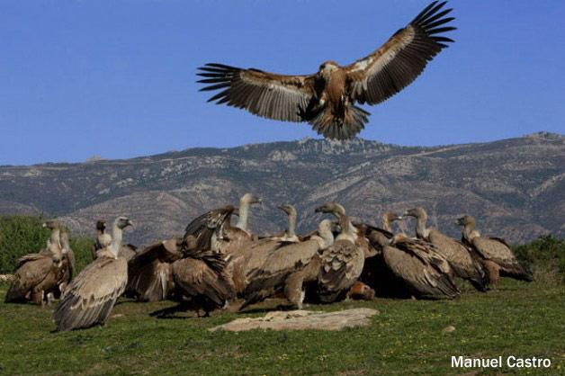 Las aves necrófagas en grave peligro con la nueva orden de SANDACH