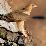 Hieraaetus fasciatus