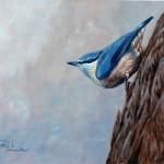 Trepador azul (Sitta europaea)