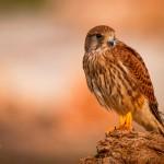 Falco tinnuculus