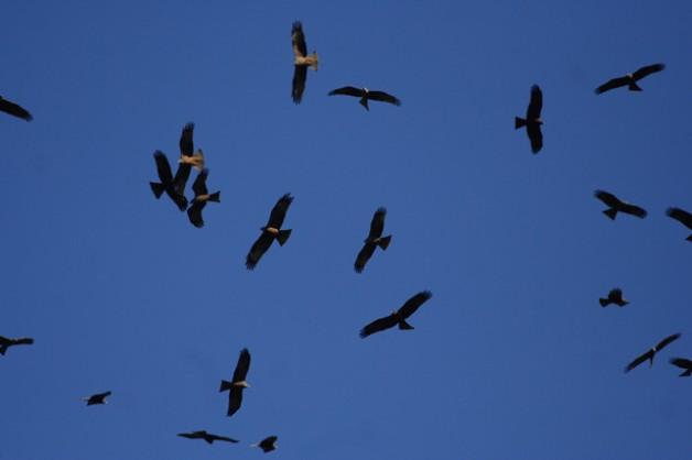 Jornada de migración de aves en el estrecho de Gibraltar