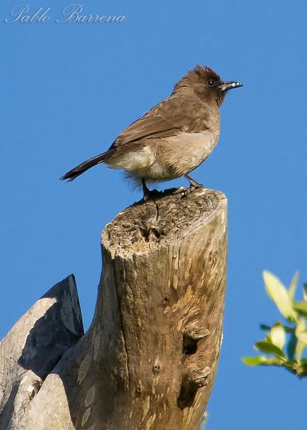 El bulbul naranjero, un ave africana, se reproduce por primera vez en la península.